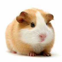 Frozen Guinea Pig Small
